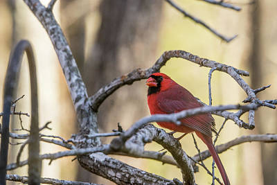 Photograph - Cardinal Among The Branches by Douglas Barnett