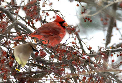 Photograph - Cardinal And Cedar Wax Wing Feeding On Crab Apples by Betty Pauwels
