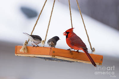Photograph - Cardinal And Juncos by Jennifer White