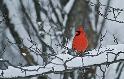 Animals Photos - Cardinal and snow by Michael Peychich