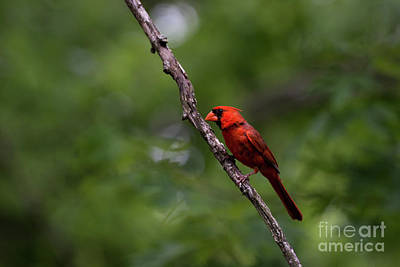 Photograph - Cardinal by Andrea Silies