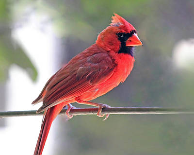 Photograph - Cardinal by Angela Murdock