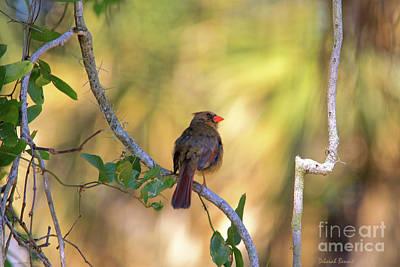 Cardinals. Wildlife. Nature Photograph - Cardinal  At Buschman Park by Deborah Benoit