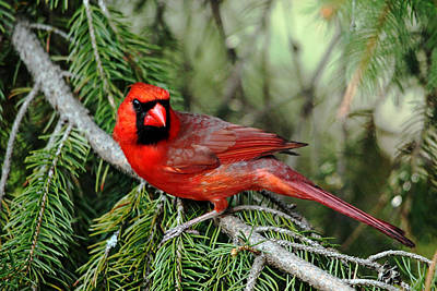 Photograph - Cardinal Attitude by Debbie Oppermann