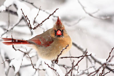 Photograph - Cardinal Beauty by Trina Ansel