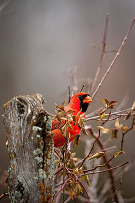 Photograph - Cardinal Behind Fence Post by Jeff Phillippi
