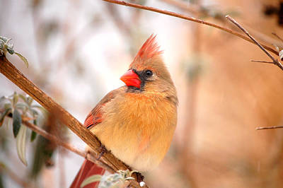 Cardinal Bird Female Art Print by Peggy Franz