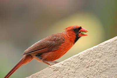 Photograph - Cardinal Bird Maui Hawaii by Pierre Leclerc Photography