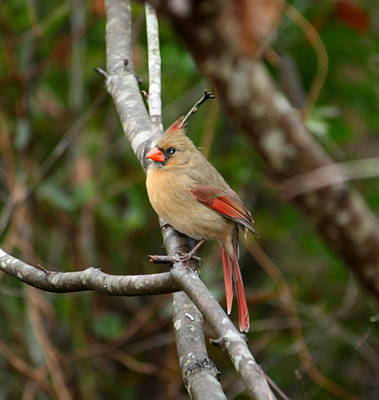 Art Print featuring the photograph Cardinal by Cathy Harper