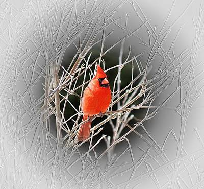 Photograph - Cardinal Centered by MTBobbins Photography