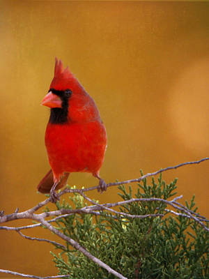 Photograph - Cardinal by Charles McKelroy