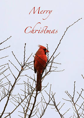 Photograph - Cardinal Christmas Card Poster by Carol Groenen