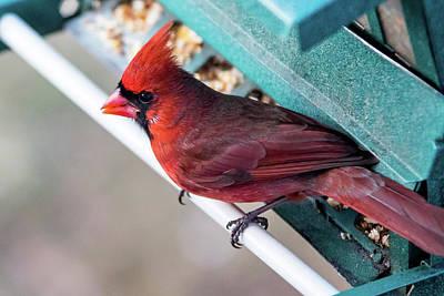 Photograph - Cardinal Close Up by Darryl Hendricks