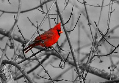 Photograph - Cardinal Colorized by David Dunham