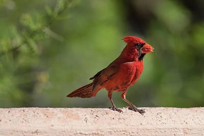 Photograph - Cardinal by Dan McManus