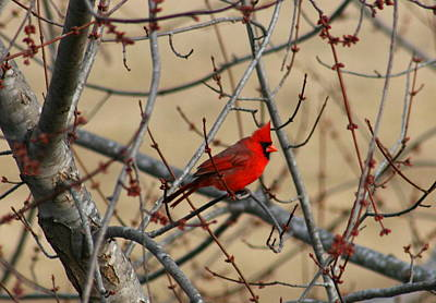 Photograph - Cardinal by David Dunham