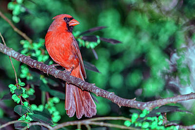 Perched Photograph - Cardinal Defending Territory  by Rick Higgins
