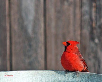 Photograph - Cardinal Drinking by Edward Peterson