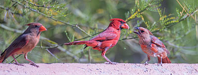 Photograph - Cardinal Family  by Dan McManus