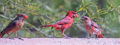 Photograph - Cardinal Family  by Dan McManus