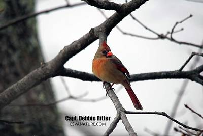 Photograph - Cardinal Female 4406 by Captain Debbie Ritter