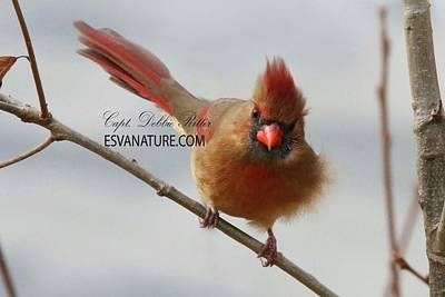 Photograph - Cardinal Female 5708 by Captain Debbie Ritter