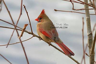 Photograph - Cardinal Female 5720 by Captain Debbie Ritter