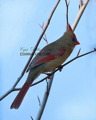 Photograph - Cardinal Female 9603 by Captain Debbie Ritter