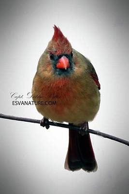 Photograph - Cardinal Female 9884 by Captain Debbie Ritter