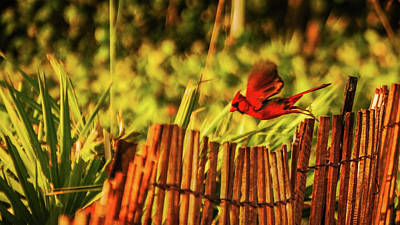 Photograph - Cardinal Flight Delray Beach Florida by Lawrence S Richardson Jr