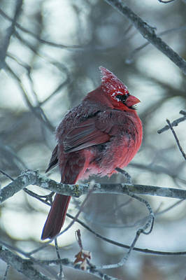 Photograph - Cardinal Frost At -34 Degrees by Bear Paw Resort Photography