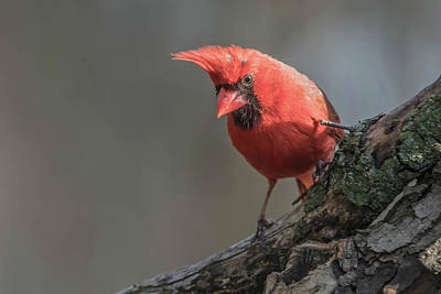 Photograph - Cardinal Img 1 by Bruce Pritchett