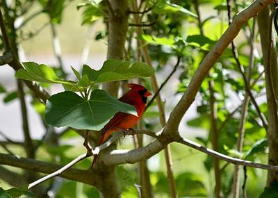 Photograph - Cardinal In A Fig Tree by rd Erickson