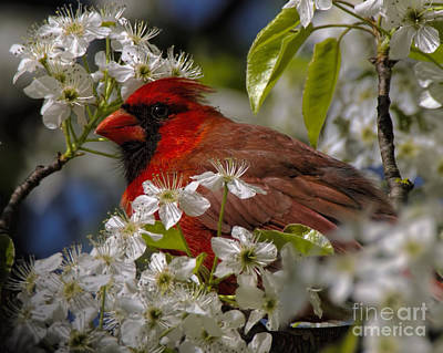 Photograph - Cardinal In A Pear Tree by Barbara Bowen