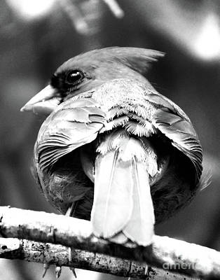 Photograph - Cardinal In Black And White by Lizi Beard-Ward