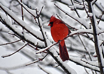 Photograph - Cardinal In Carolina Snow by Lydia Holly