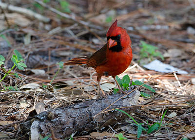 Photograph - Cardinal In Charge by Julie Cameron