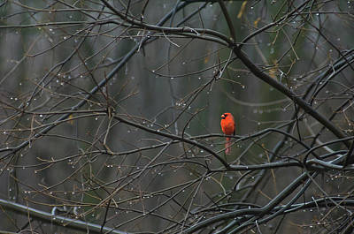 Cardinal In End Of Winter Rain Art Print by James Oppenheim
