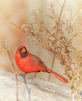 Photograph - Cardinal In Fall  by Richard Kopchock