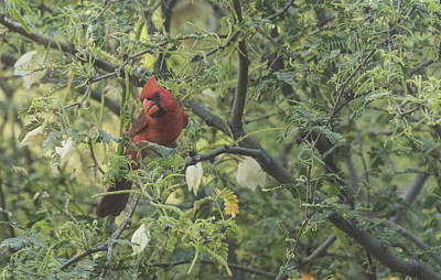 Photograph - Cardinal In Mesquite by Laura Pratt