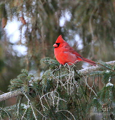 Photograph - Cardinal In Pine Tree  6210 by Jack Schultz