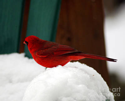 Photograph - Cardinal In Snow II by Clayton Bruster