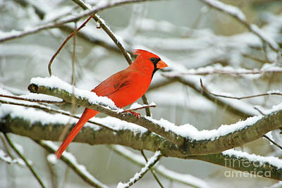 Red Finch Photograph - Cardinal In Snow by Laura D Young