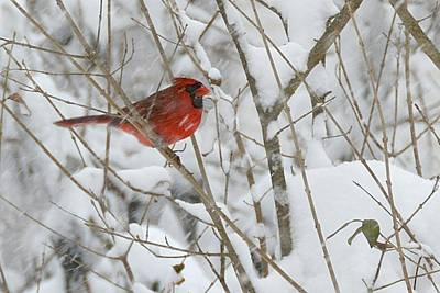 Photograph - Cardinal In Snowy Branches by Tana Reiff