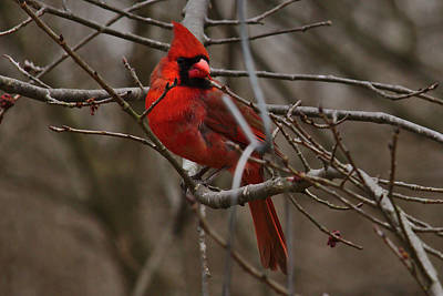 Photograph - Cardinal In Spring by Brad Chambers