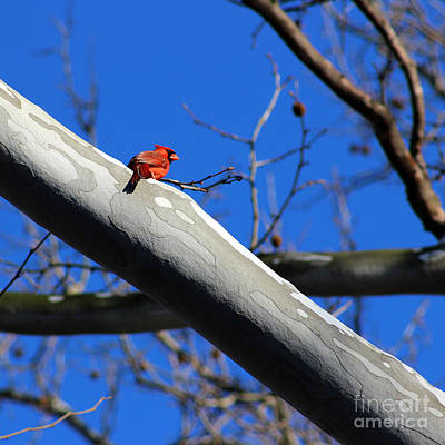 Photograph - Cardinal In Sycamore Tree by Karen Adams
