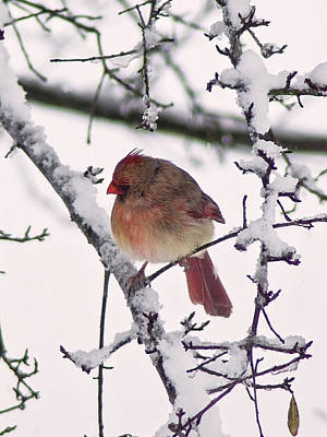 Mixed Media - Cardinal In The Snow by B Wayne Mullins