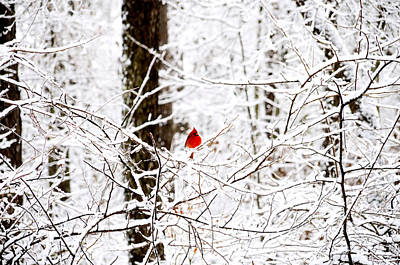 Photograph - Cardinal In The Snow by Charles Bacon Jr