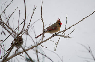Photograph - Cardinal In The Snow by Jeff Severson