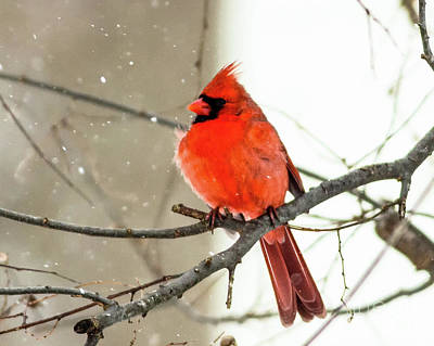 Photograph - Cardinal In The Snow by Ursula Lawrence